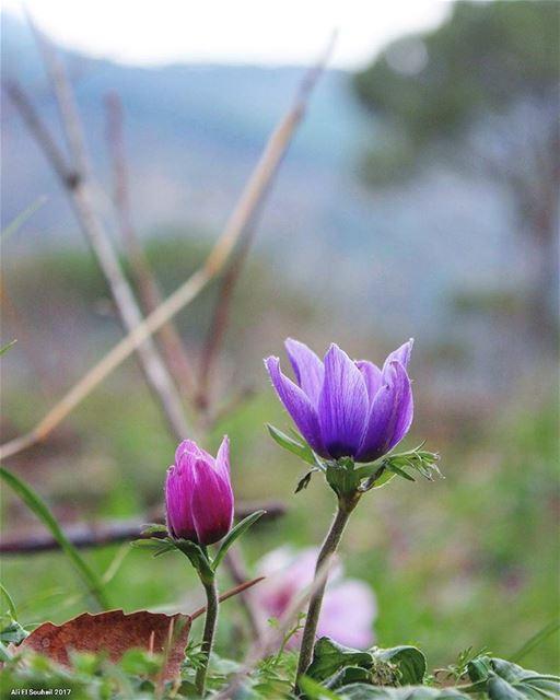 tb flowers closeup purple bzebdine mountlebanon colors nature ... (Bzébdîne, Mont-Liban, Lebanon)