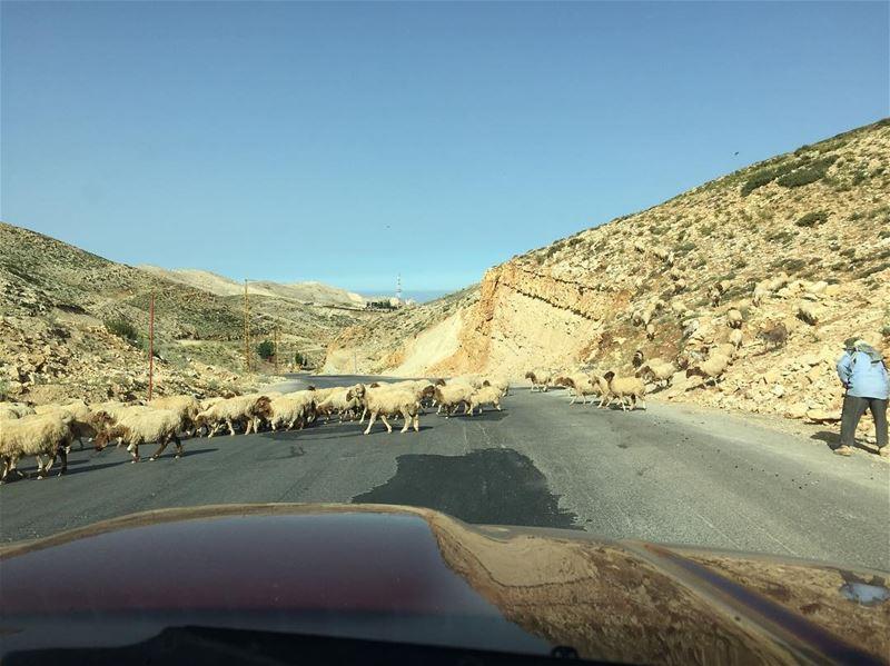 sheepontheroad sheep 🐑 lebanesesheeps nature sunnyday lebanon ... (Mzaar Kfardebian)