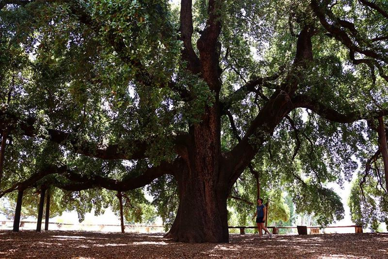 The biggest Oak tree in the MiddleEast exists in Lebanon in a village...