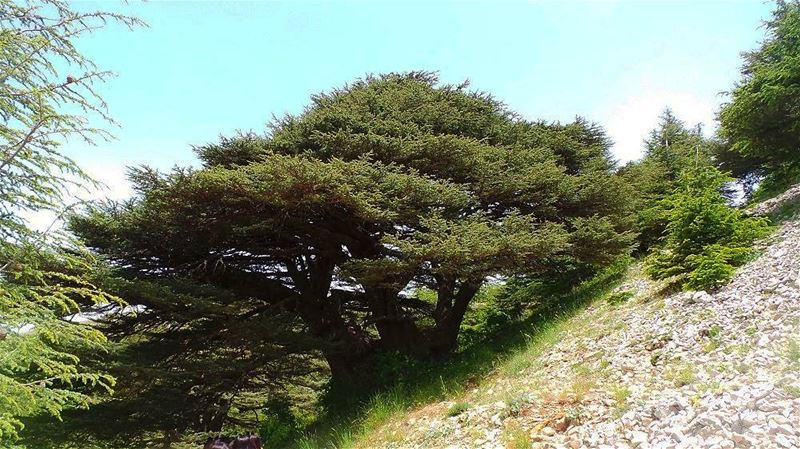 The Cedar tree on the lebanese flag needs 11 person to be hugged, tell...