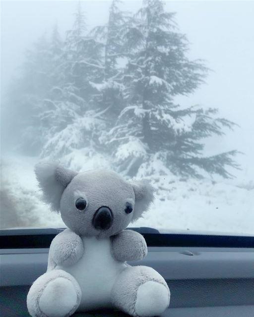 My Koala loves the snow ❄🐨❄ AlArz Cedars Bsharri Lebanon Lebanese ... (Bcharré, Liban-Nord, Lebanon)