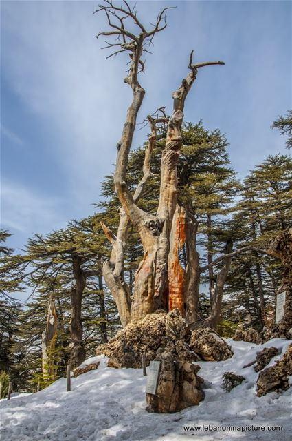 The Cedars of Lebanon - Last days of snow (Cedars of God, North Lebanon)