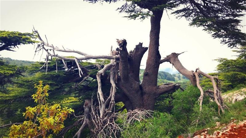 ~..You are beauty in all forms..~🌲🇱🇧 treetrunk tree cedars ... (Bâroûk, Mont-Liban, Lebanon)