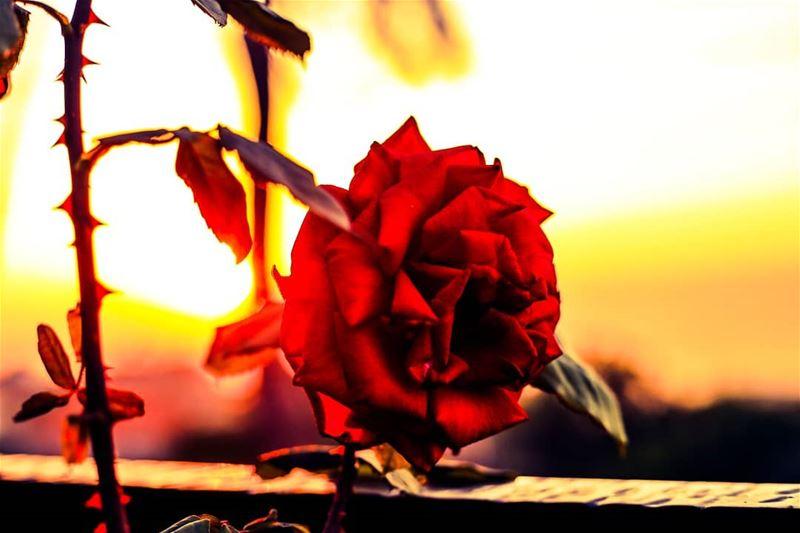 PHOTOARENA Fatalaframes MoodyGrams flower rose pocket_allnature ...