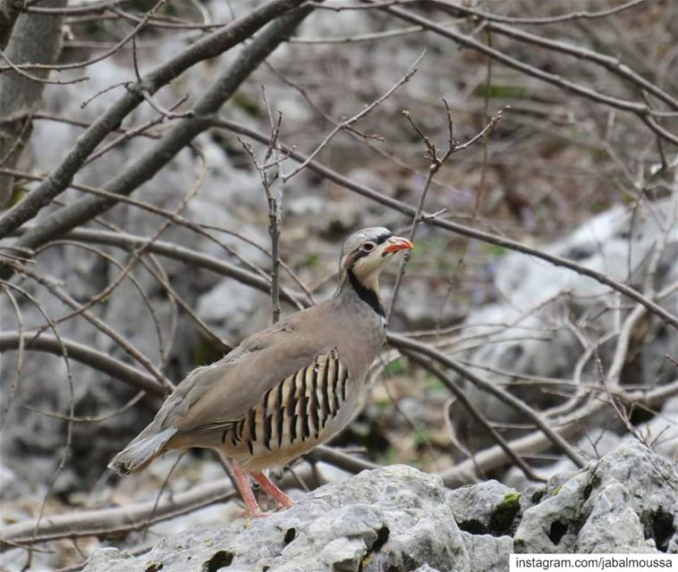 Birds are not meant to be caged, that's all! JabalMoussa partridge ... (Jabal Moussa Biosphere Reserve)