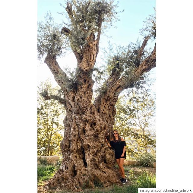 The worlds oldest olive trees are Lebanese🇱🇧 ❤️This ancient olive tree...