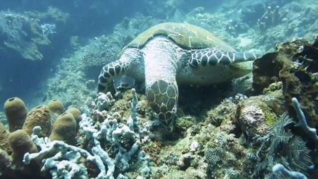 Marine seduction , filmed in  indonesia  amed  tulamben  turtles ...